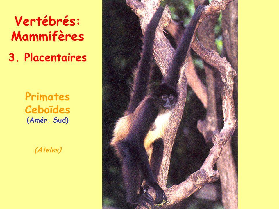 Vertébrés: Mammifères 3. Placentaires Primates Cercopithécoïdes (Ancien Monde) (Papio-babouin)