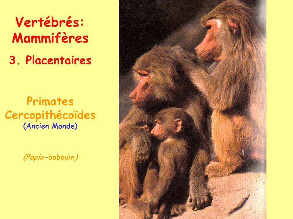 Vertébrés: Mammifères 3. Placentaires Primates Hominoïdes (Ancien Monde) (Pan-chimpanzé)