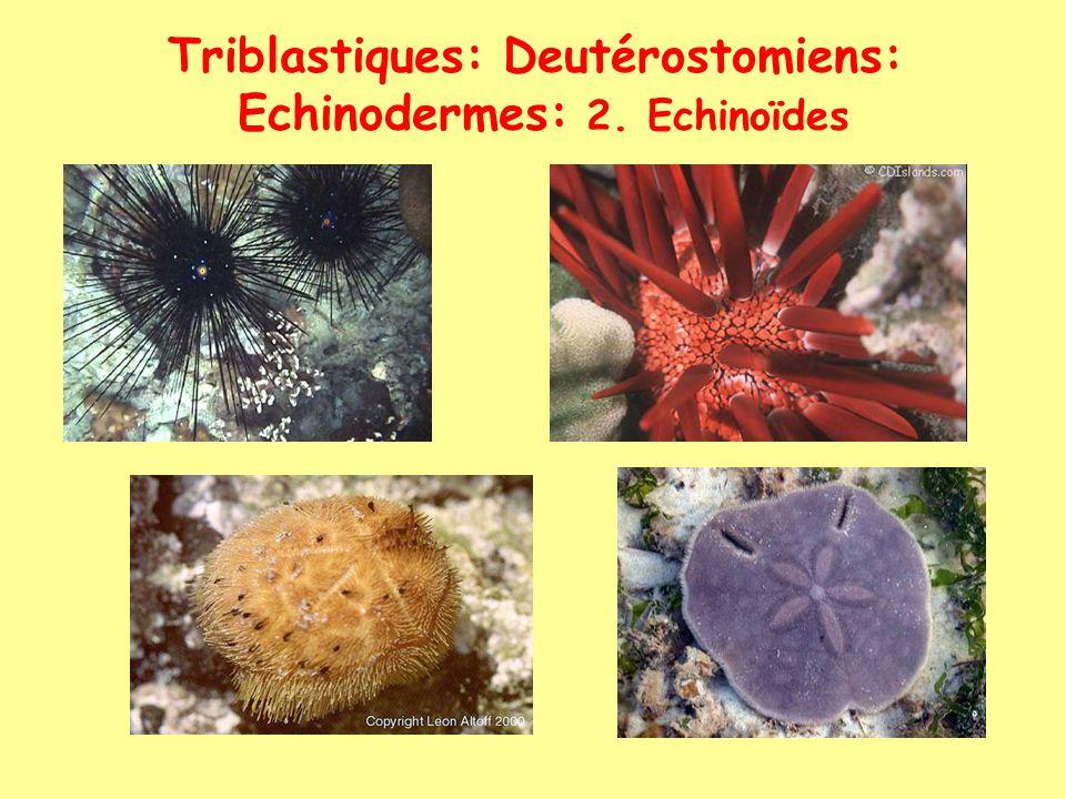 Triblastiques: Deutérostomiens: Echinodermes: 2. Echinoïdes lanterne daristote