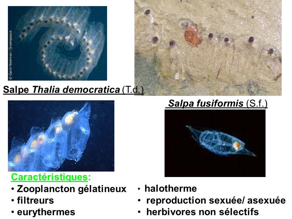 Salpe Thalia democratica (T.d.) Salpa fusiformis (S.f.) Caractéristiques: Zooplancton gélatineux filtreurs eurythermes halotherme reproduction sexuée/
