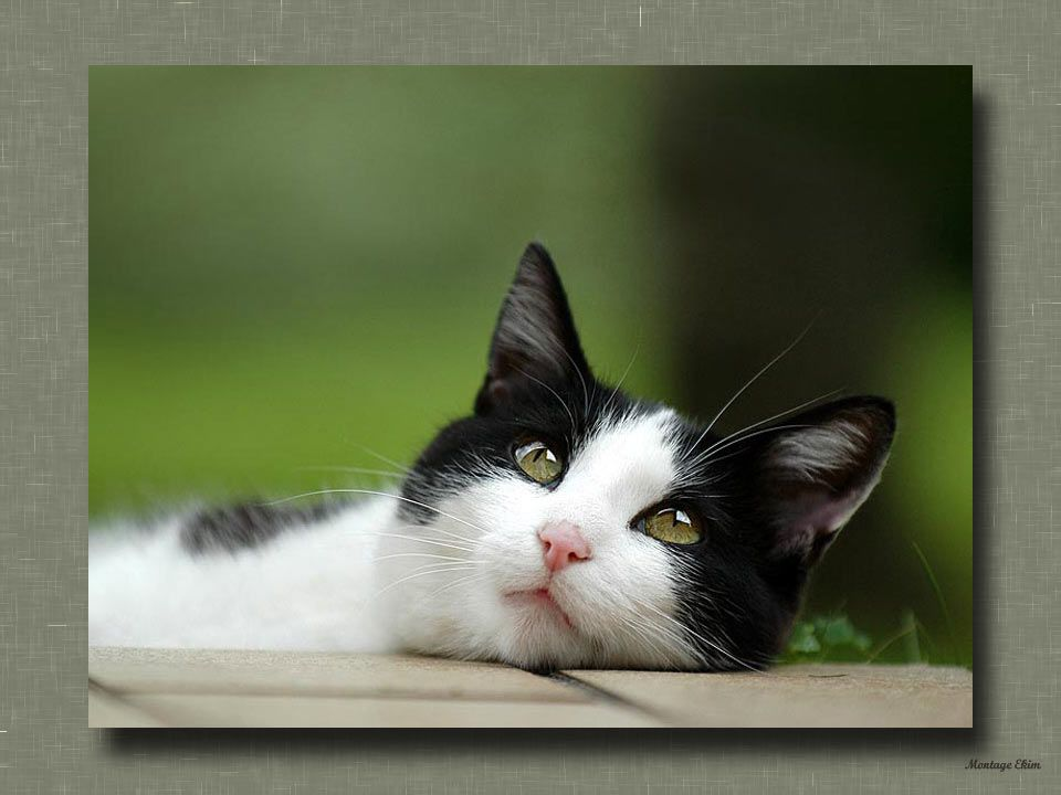 Lorsque vous câlinez votre chat, il vous signale quil se sent apaisé en ronronnant. Sil se met à pétrir avec ses pattes et à téter vos vêtements, cela