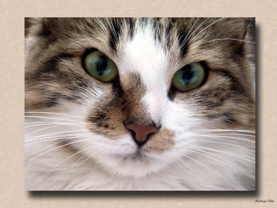 Pour un chat angoissé, souffrant et même lorsquil est sur le point de mourir: il ronronne pour se rassurer lui-même. Cette musique si particulière, se