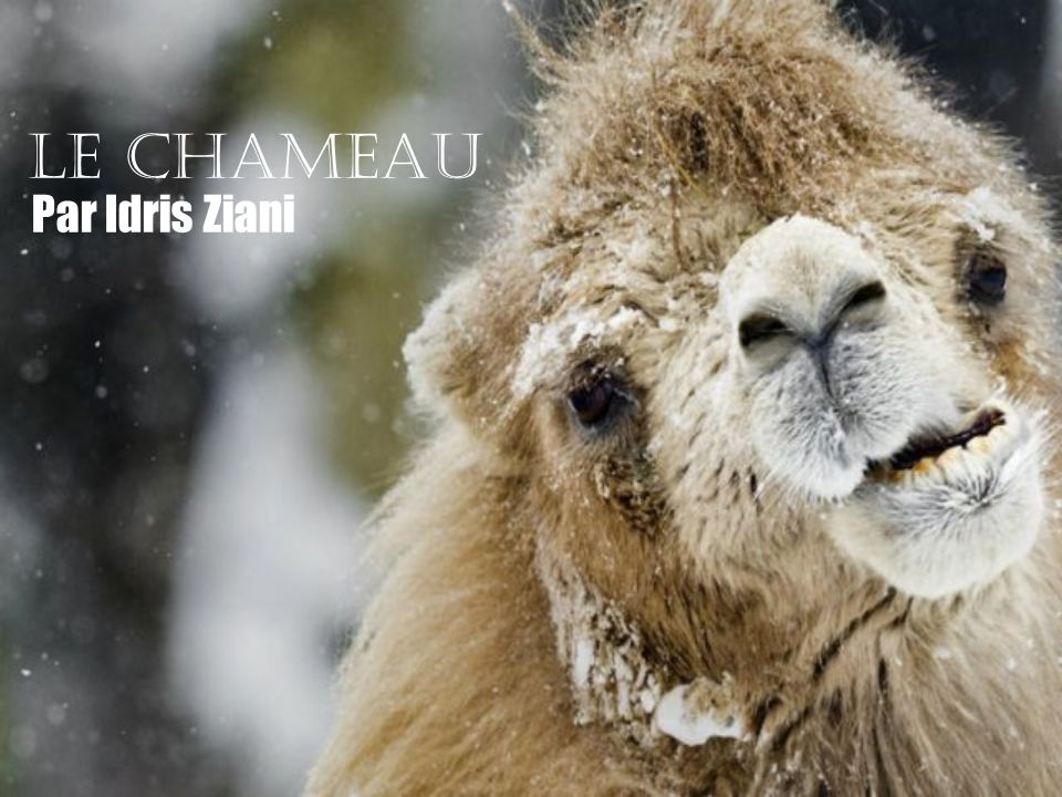 C est un animal domestique.Les nomades utilisent le chameau pour se déplacer dans le désert.
