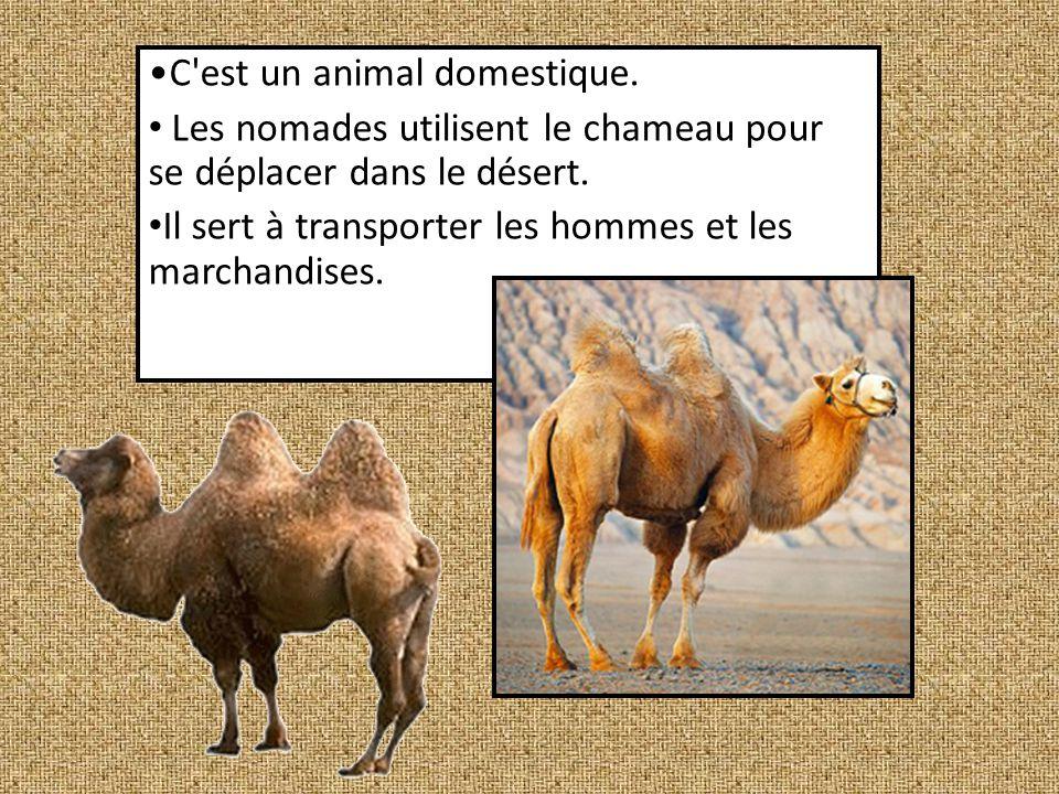 Le chameau est un mammifère de la famille des camélidés.