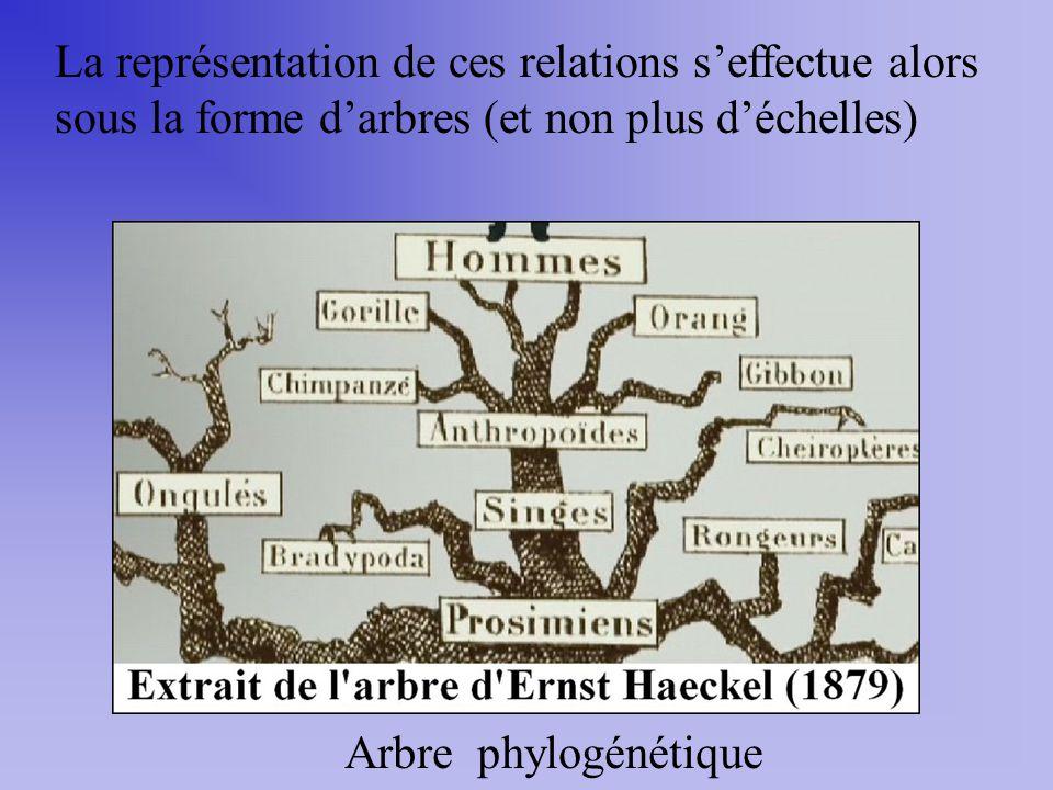 La représentation de ces relations seffectue alors sous la forme darbres (et non plus déchelles) Arbre phylogénétique