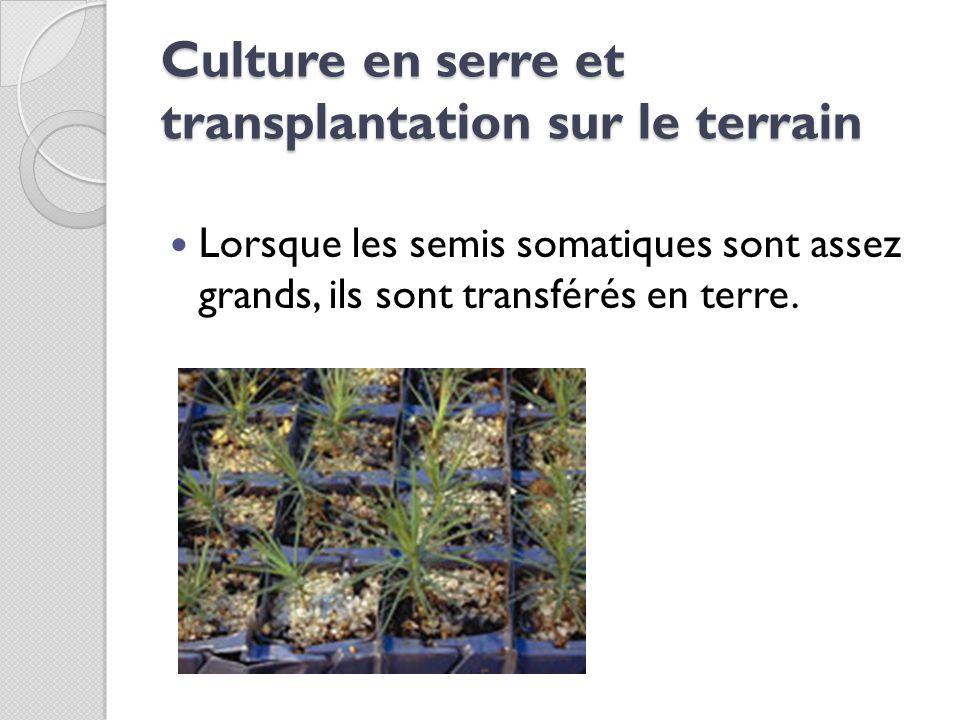 Culture en serre et transplantation sur le terrain Lorsque les semis somatiques sont assez grands, ils sont transférés en terre.