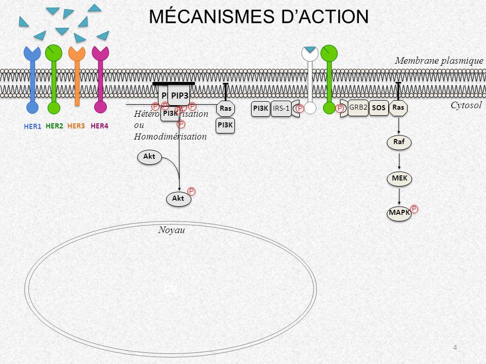 4 Membrane plasmique MÉCANISMES DACTION Hétérodimérisation ou Homodimérisation P P GRB2 SOS Ras Raf MEK MAPK P IRS-1 PI3K Ras PI3K PIP2 P P PI3K P P P