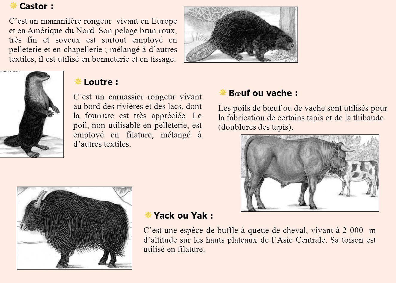 Castor : Cest un mammifère rongeur vivant en Europe et en Amérique du Nord. Son pelage brun roux, très fin et soyeux est surtout employé en pelleterie