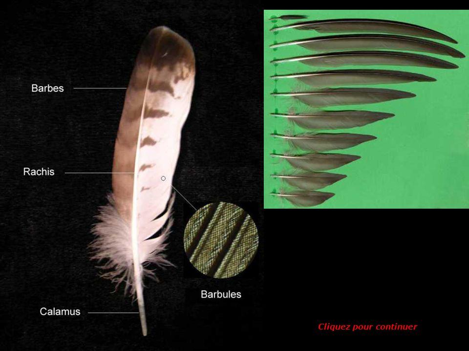 Dans une plume, où se trouve le calamus ? 3 1 2 3 2 1