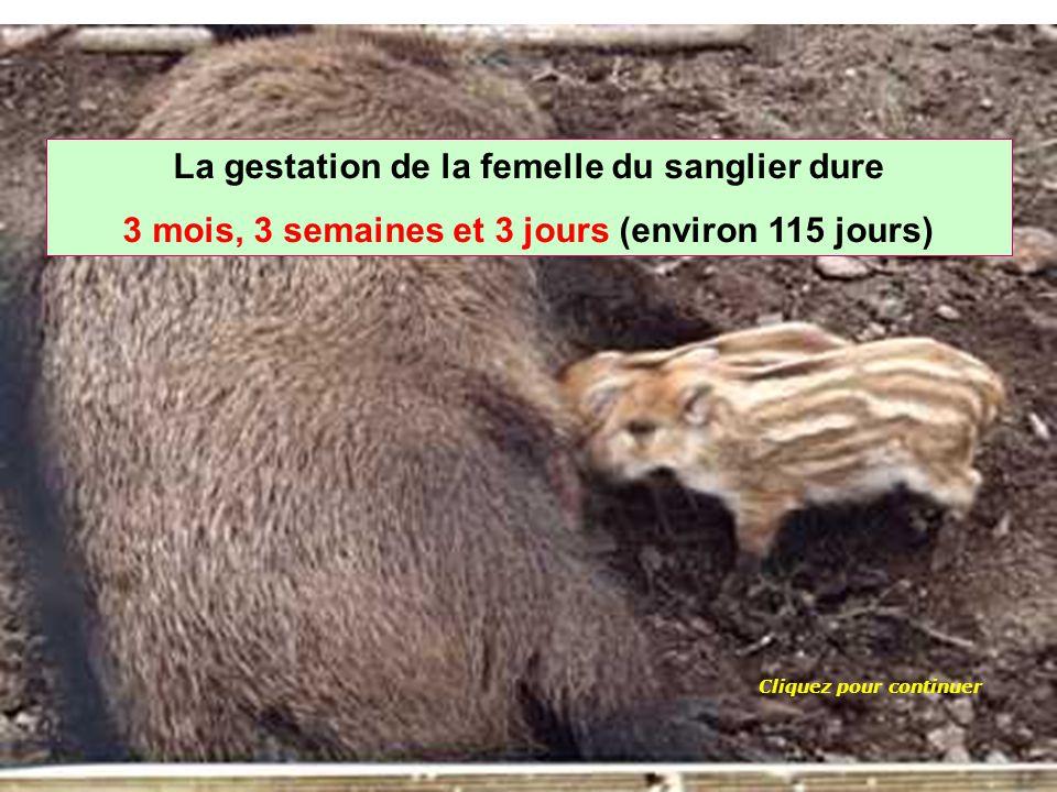 Quelle est la durée de gestation de la femelle du sanglier ? 175 jours115 jours145 jours