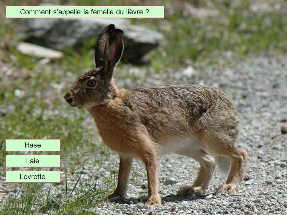 Comment sappelle la femelle du lièvre ? Levrette Hase Laie
