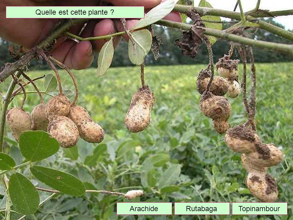Quelle est cette plante ? TopinambourArachideRutabaga