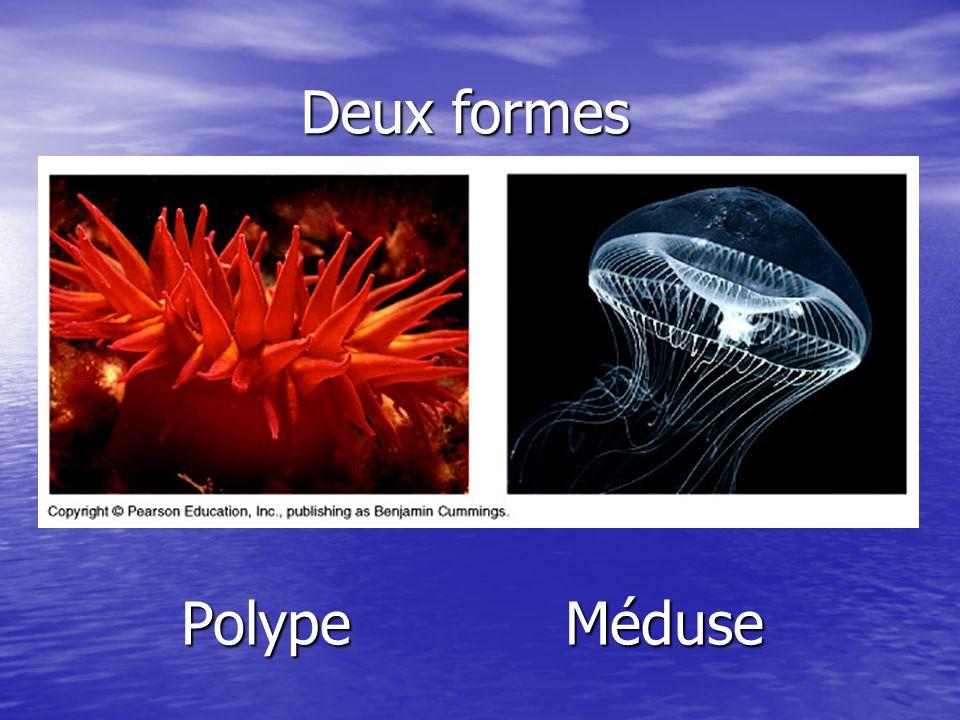 A.TentaculesB.Ectoderme C.EndodermeD. Cavité gastrique E.BoucheLa forme polype est fixée.