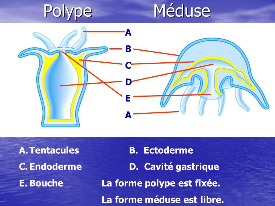 Nutrition Carnivores Les tentacules ont des cnidocytes qui comportent des nématocystes.