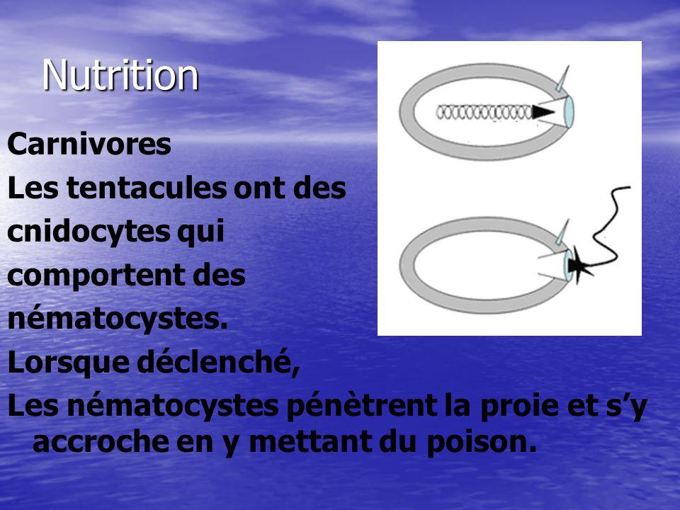 Nutrition Carnivores Les tentacules ont des cnidocytes qui comportent des nématocystes. Lorsque déclenché, Les nématocystes pénètrent la proie et sy a