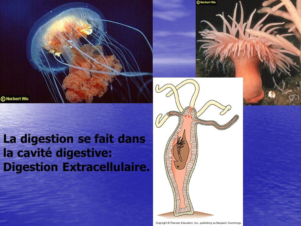 La digestion se fait dans la cavité digestive: Digestion Extracellulaire.