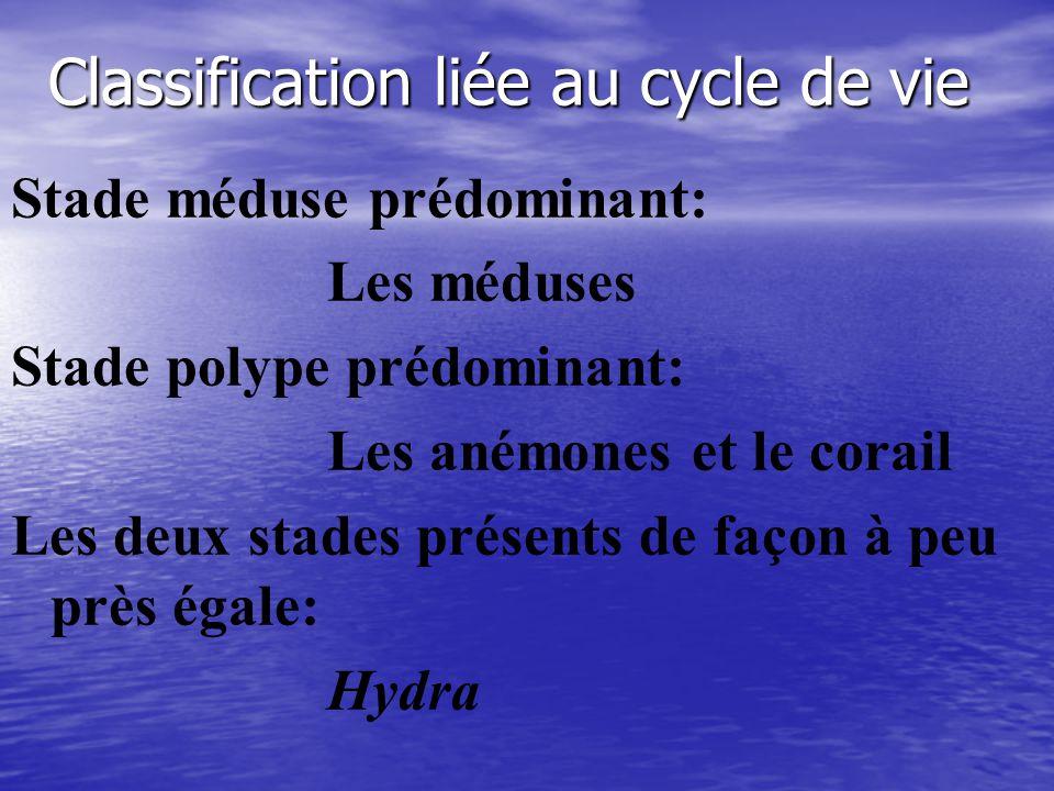 Classification liée au cycle de vie Stade méduse prédominant: Les méduses Stade polype prédominant: Les anémones et le corail Les deux stades présents