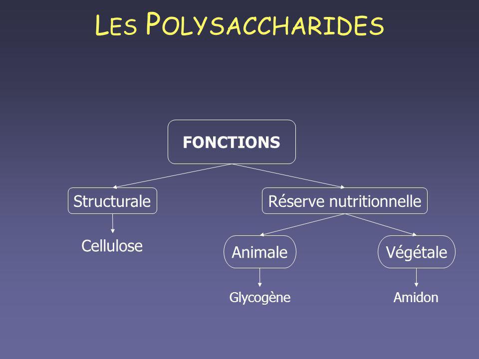 L ES P OLYSACCHARIDES FONCTIONS StructuraleRéserve nutritionnelle Cellulose Animale Glycogène Végétale Amidon
