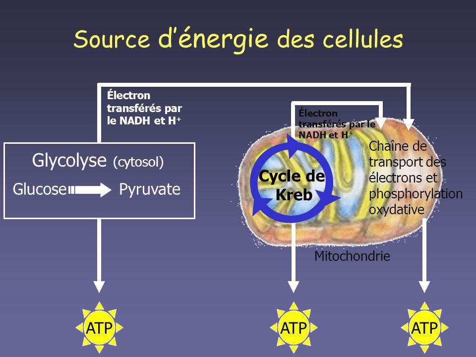 Source dénergie des cellules Mitochondrie Cycle de Kreb Chaîne de transport des électrons et phosphorylation oxydative Glycolyse (cytosol) GlucosePyru