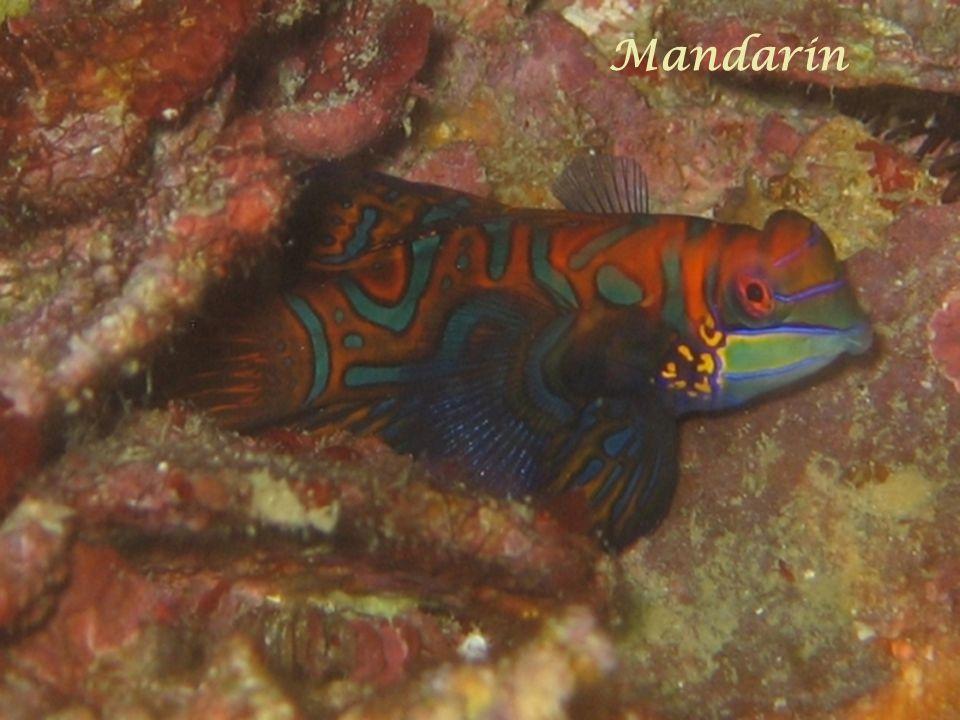Mérou corail