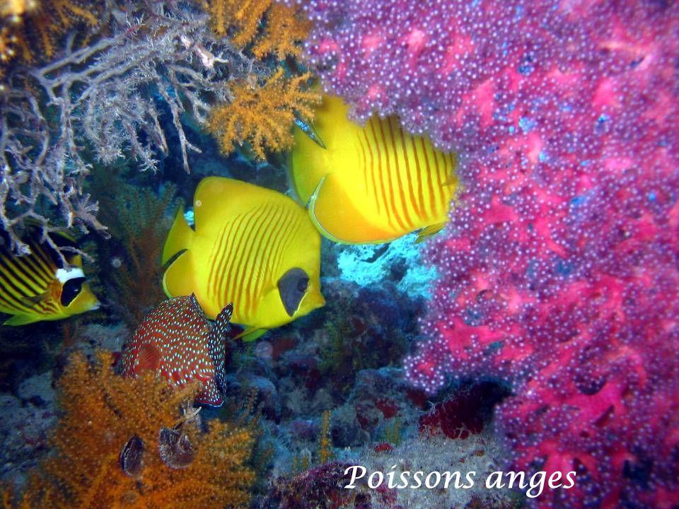 Tetrodon jaune
