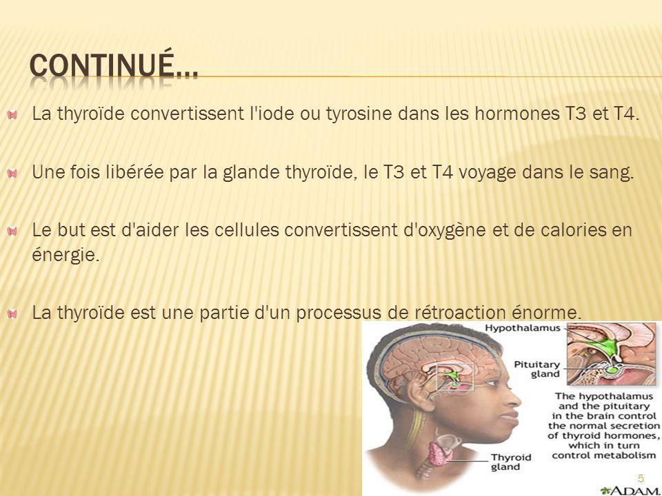 L hypothalamus dans le cerveau libère du thyréostimuline (TRH).