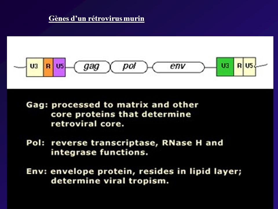 Gènes dun rétrovirus murin