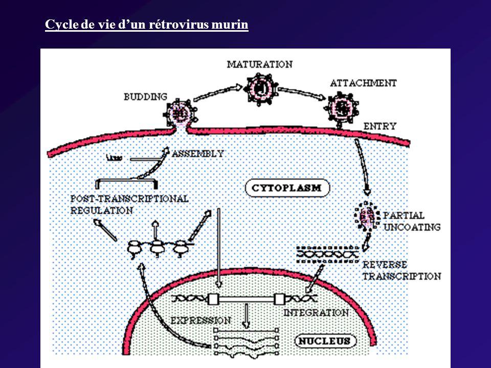 Cycle de vie dun rétrovirus murin