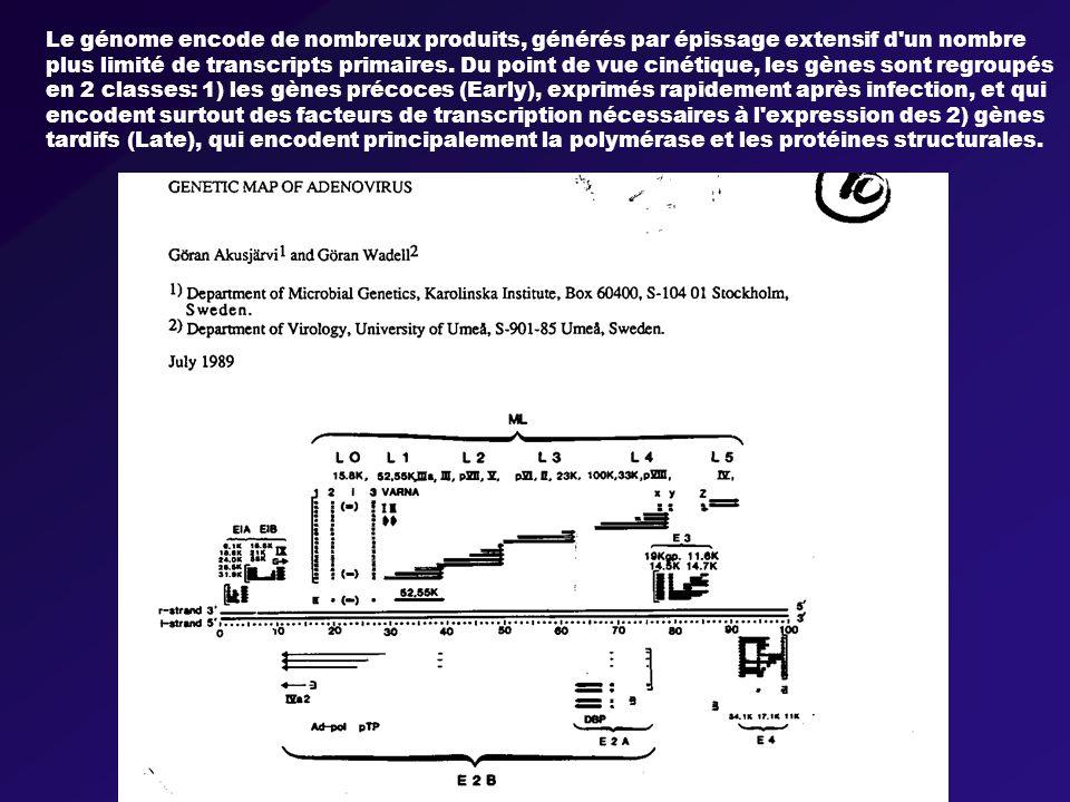 Le génome encode de nombreux produits, générés par épissage extensif d un nombre plus limité de transcripts primaires.