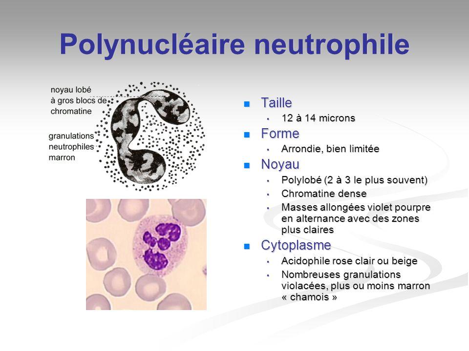 Polynucléaire éosinophile Taille 12 - 14 microns Forme Arrondie bien limitée Noyau 2 lobes le plus souvent quelquefois plus Cytoplasme A peine visible Grosses granulations arrondies, tassées, acidophiles rose orangé
