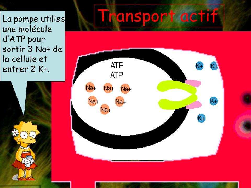 Mais que se passe-t- il si la cellule veut échanger des molécules contre un gradient électrochimique? Alors, elle doit utiliser le transport actif qui