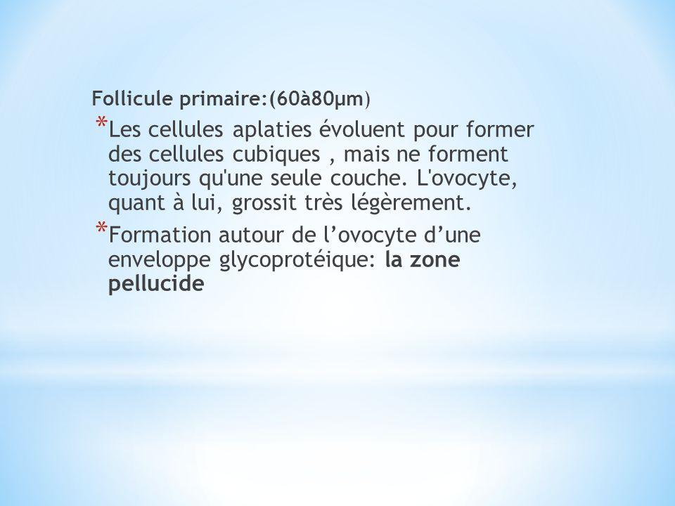 Follicule primaire:(60à80µm) * Les cellules aplaties évoluent pour former des cellules cubiques, mais ne forment toujours qu'une seule couche. L'ovocy
