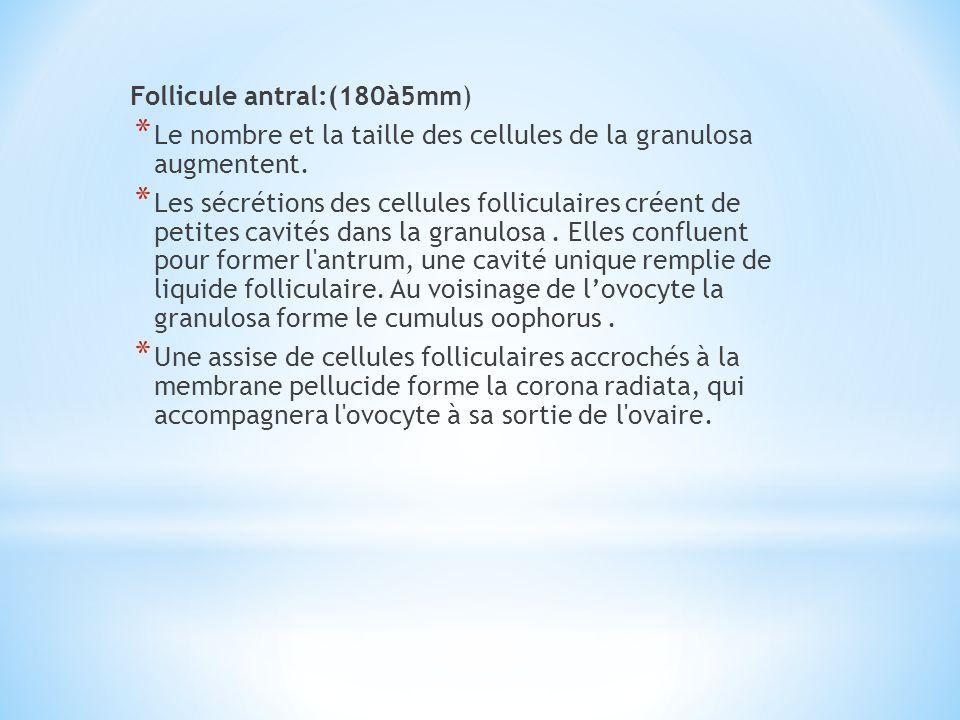 Follicule antral:(180à5mm) * Le nombre et la taille des cellules de la granulosa augmentent. * Les sécrétions des cellules folliculaires créent de pet