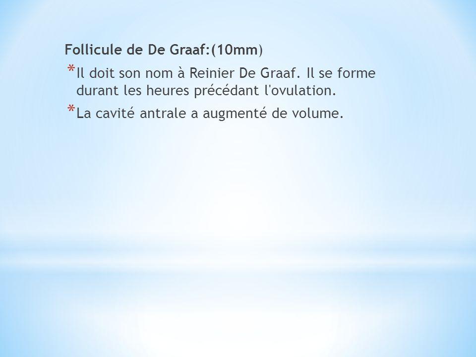 Follicule de De Graaf:(10mm) * Il doit son nom à Reinier De Graaf. Il se forme durant les heures précédant l'ovulation. * La cavité antrale a augmenté