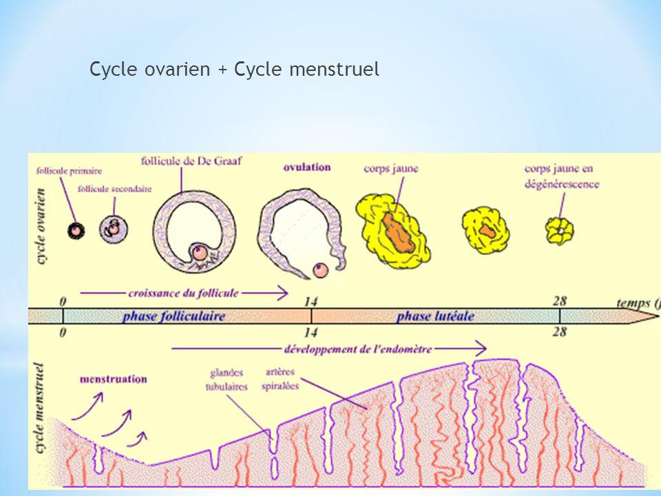 Comprend deux phases: -phase folliculaire -phase lutéinique Ces deux phases sont séparées lovulation.