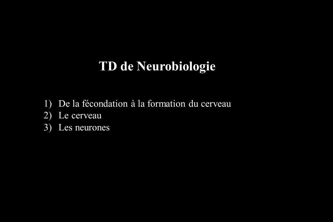 1)De la fécondation à la formation du cerveau 2)Le cerveau 3)Les neurones TD de Neurobiologie