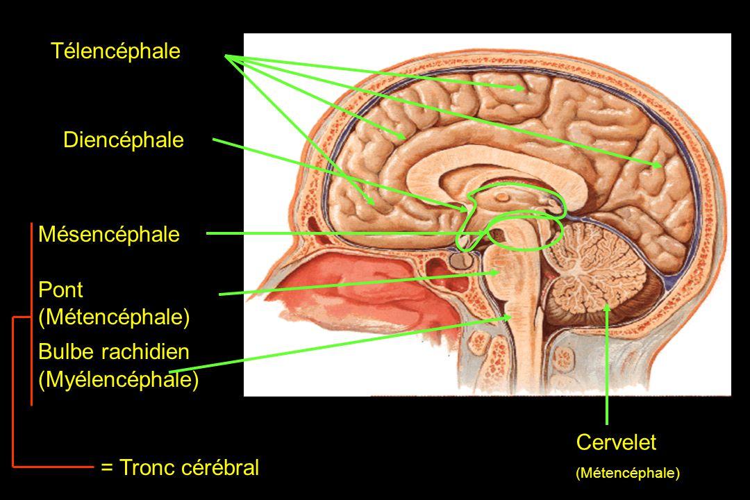 Télencéphale Mésencéphale Pont (Métencéphale) Bulbe rachidien (Myélencéphale) = Tronc cérébral Cervelet (Métencéphale) Diencéphale