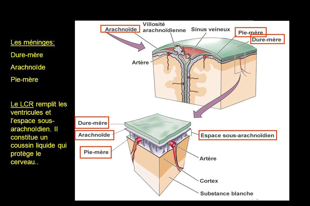 Les méninges: Dure-mère Arachnoïde Pie-mère Le LCR remplit les ventricules et lespace sous- arachnoïdien.