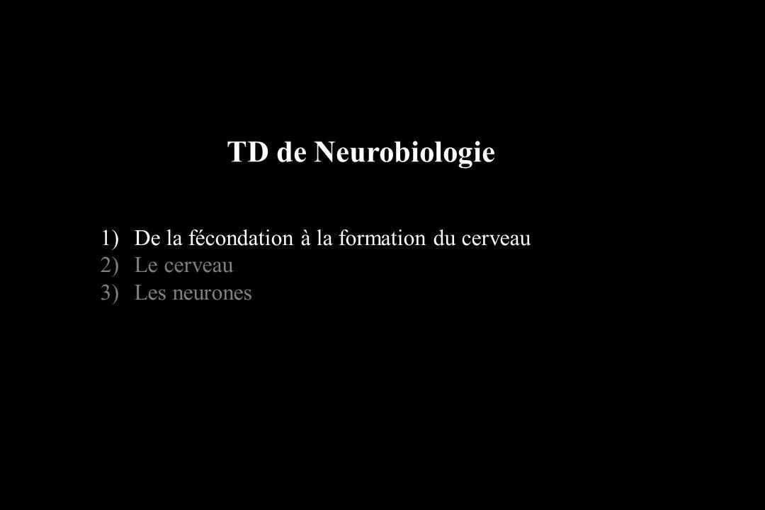 Cortex divisé en lobes: Lobe occipital Lobe pariétal Lobe temporal Lobe frontal