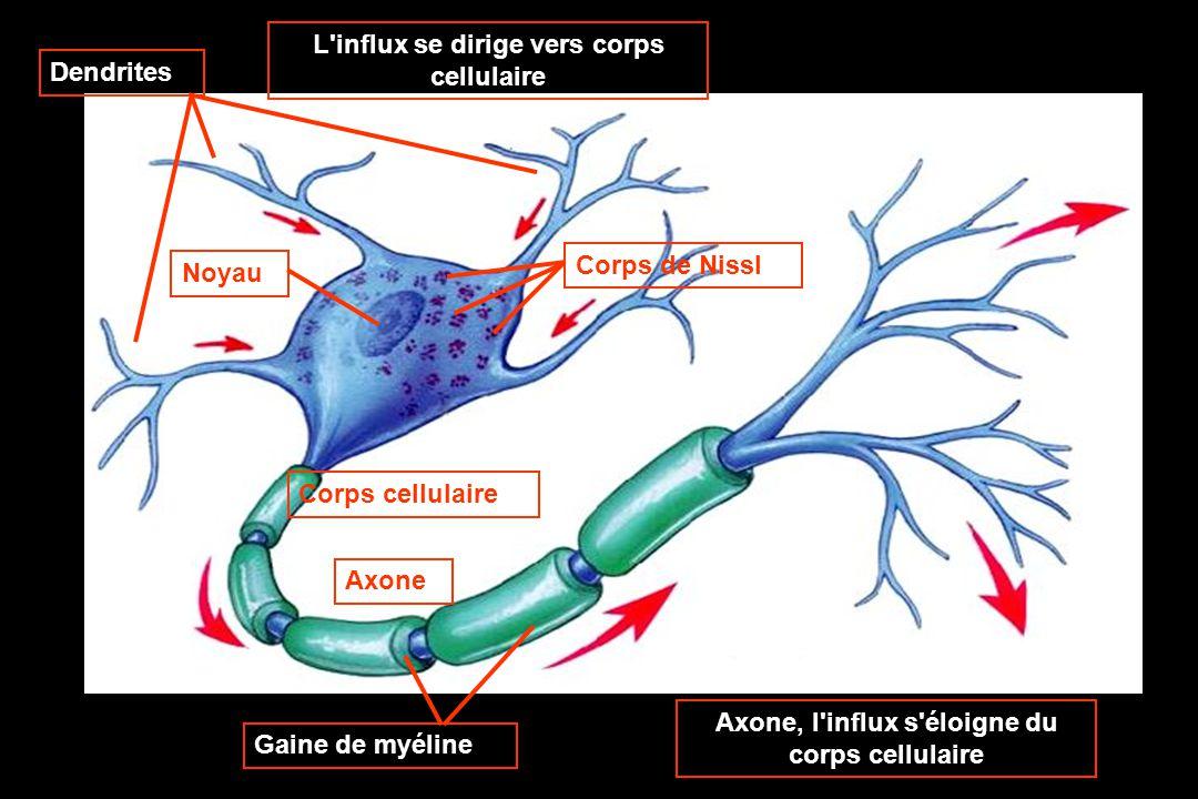 Corps cellulaire Axone Axone, l influx s éloigne du corps cellulaire L influx se dirige vers corps cellulaire Dendrites Corps de NisslNoyau Gaine de myéline