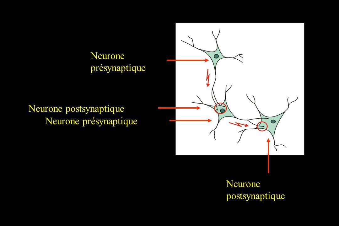 Neurone présynaptique Neurone postsynaptique Neurone présynaptique Neurone postsynaptique