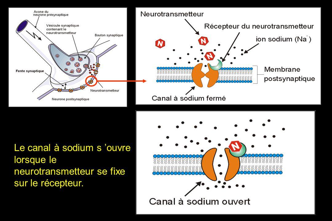 Le canal à sodium s ouvre lorsque le neurotransmetteur se fixe sur le récepteur.