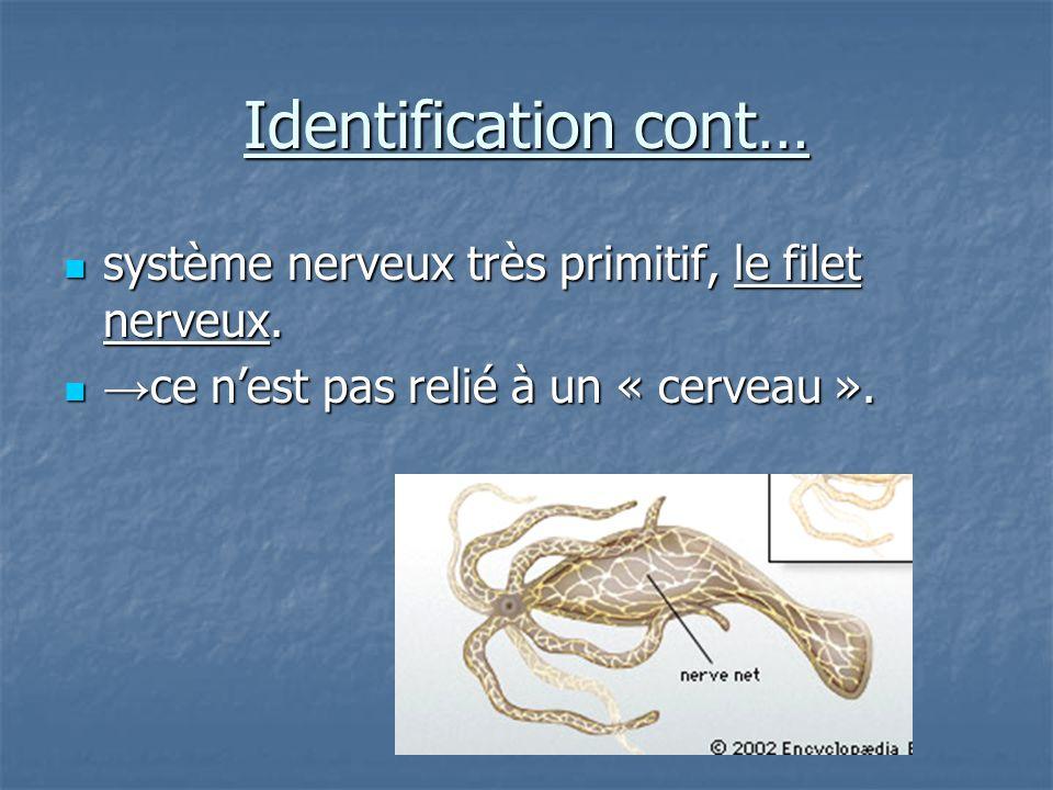 Identification cont… système nerveux très primitif, le filet nerveux.