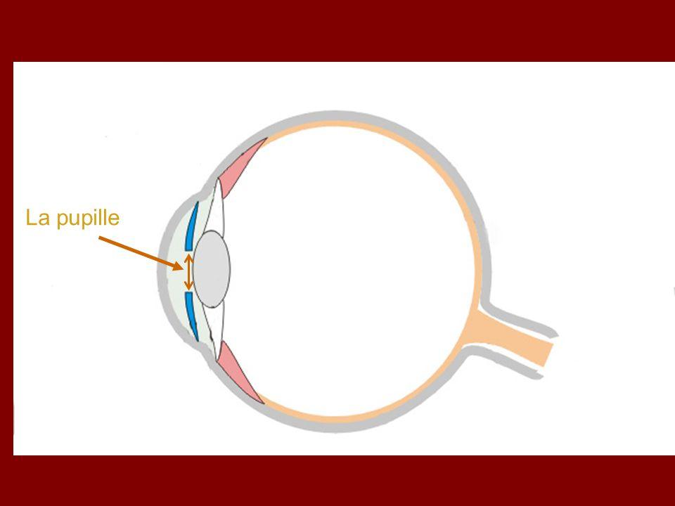 La pupille : Cest un orifice par lequel la lumière ….........