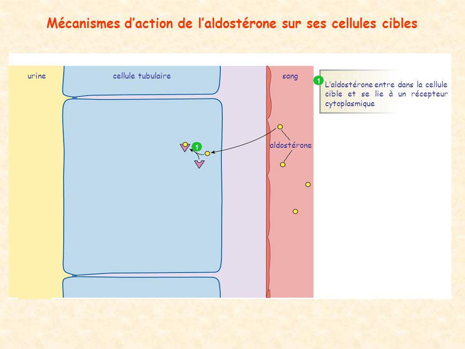 Mécanismes daction de laldostérone sur ses cellules cibles aldostérone cellule tubulairesangurine Laldostérone entre dans la cellule cible et se lie à