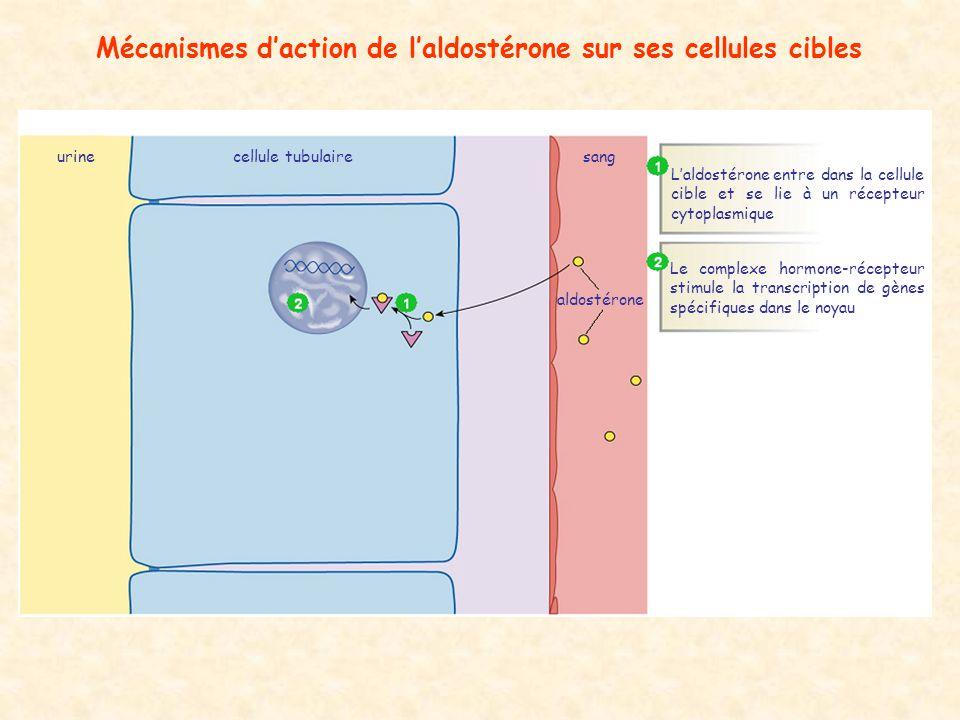 Mécanismes daction de laldostérone sur ses cellules cibles aldostérone cellule tubulairesangurine Laldostérone entre dans la cellule cible et se lie à un récepteur cytoplasmique Le complexe hormone-récepteur stimule la transcription de gènes spécifiques dans le noyau