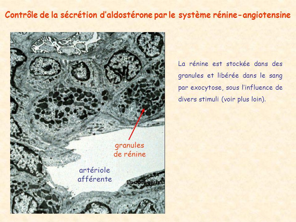 granules de rénine artériole afférente Contrôle de la sécrétion daldostérone par le système rénine-angiotensine La rénine est stockée dans des granules et libérée dans le sang par exocytose, sous linfluence de divers stimuli (voir plus loin).