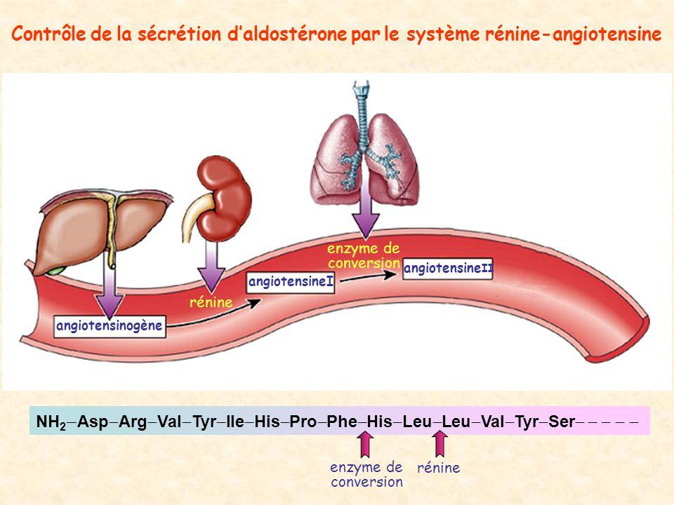 Contrôle de la sécrétion daldostérone par le système rénine-angiotensine angiotensinogène angiotensineI angiotensine II rénine enzyme de conversion NH 2 Asp Arg Val Tyr Ile His Pro Phe His Leu Leu Val Tyr Ser rénine enzyme de conversion