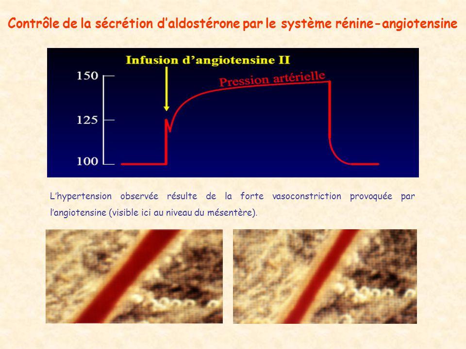 Contrôle de la sécrétion daldostérone par le système rénine-angiotensine Lhypertension observée résulte de la forte vasoconstriction provoquée par langiotensine (visible ici au niveau du mésentère).