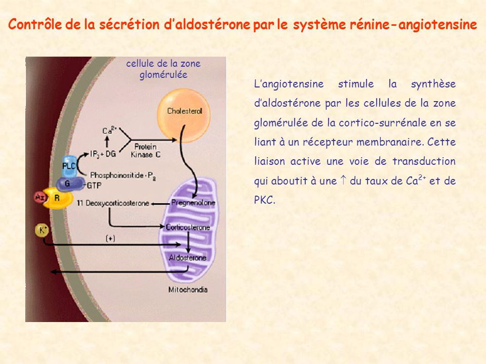 Contrôle de la sécrétion daldostérone par le système rénine-angiotensine cellule de la zone glomérulée Langiotensine stimule la synthèse daldostérone par les cellules de la zone glomérulée de la cortico-surrénale en se liant à un récepteur membranaire.